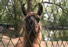 Lama z konińskiego parku j ...