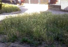 Trawy przy blokach KSM przerosną zboża na polach?