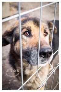 Atos - pies w typie owczarka niemieckiego czeka na domek