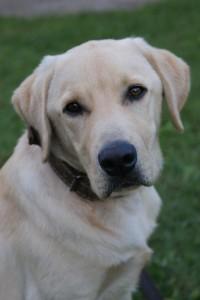 REPRODUKTOR Labrador biszkopt. Piękny. Skuteczny.