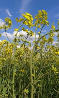 kontraktacja kukurydzy i rzepaku