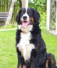 Berneński pies pasterski szuka domu