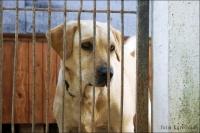 Liana - suczka w typie labradora czeka na dom
