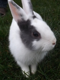 Sprzedam królika miniaturowego !