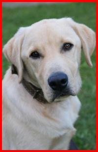 Reproduktor Labrador kolor biszkoptowy TANIO