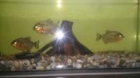 rybki 3piranie miesożerne naterrera + akwarium i wyposażenie
