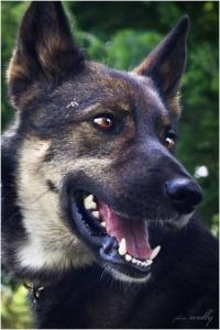 Szaman - wilczek z lasu ciągle nie ma domu...