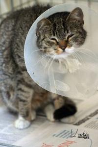 Fuga - śliczna koteczka po wypadku czeka na dobry dom