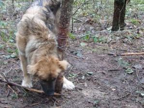 Lubstówek. W środku lasu znaleziono psa w sidłach