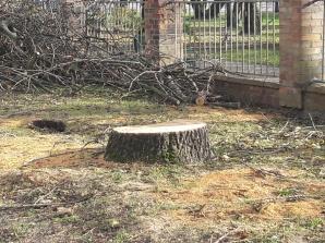 Konin. Wycięte stare drzewa przy farze. Mieszkańcy są oburzeni