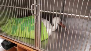Inspektorzy konińskiego TOZ-u uratowali rannego bociana