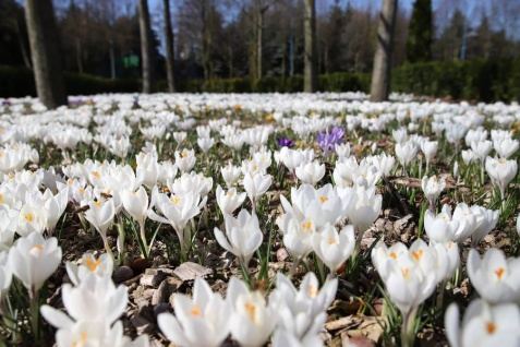 W Licheniu czuć wiosnę. Przed bazyliką zakwitło pole krokusów