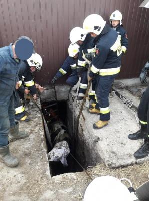 Uwięzione byki wyciągnięte na powierzchnię przez strażaków