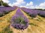 Fioletowe wzgórze nad Wartą. Tylko rozpuścić oczy i patrzeć