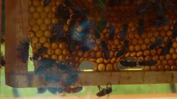 Wsparcie dla pszczelarzy. Dofinansowanie na węzy pszczele