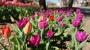 Kolorowe centrum Konina. Na ul. Dworcowej zakwitły tulipany!