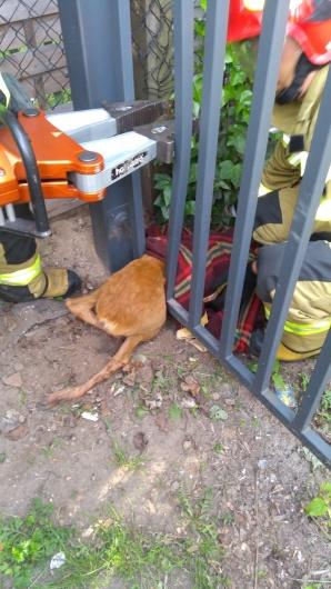 konin. Sarna w mieście. Strażacy pomogli uwięzionemu zwierzęciu