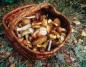Lekarze apelują o ostrożność podczas zbierania grzybów