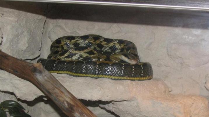 """Konin. Trzymetrowy wąż chiński """"uciekł"""" z domowego terrarium!"""