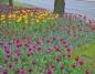 Tulipany zakwitły w centrum Konina. Zobaczcie kwiatowy dywan