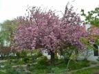 Japońskie wiśnie kwitną przy Muzeum Okręgowym w Koninie