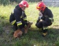 Na ratunek zwierzętom. Strażacy uwolnili sarnę, bociany i gołębia