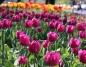 Konin. Zakwitły tulipany. Kwiatowy dywan zdobi centrum miasta