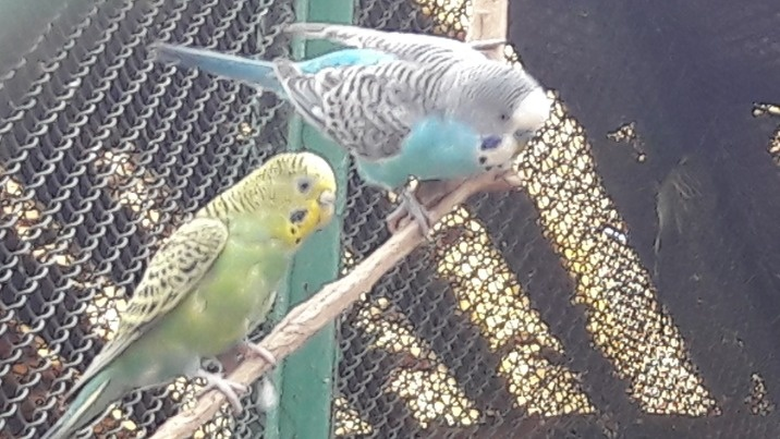 Pokochały wolność. Para papug założyła gniazdo w Gosławicach