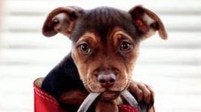 O psie, który wrócił do domu / dubbing