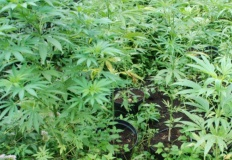 Tuliszków. Policjanci zlikwidowali leśną uprawę konopi indyjskich
