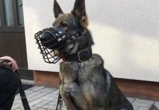 Grzegorzew. Policyjny pies Goran odnalazł zaginionego mężczyznę