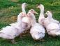 Ptasia grypa w powiecie konińskim. Zutylizowano stado kaczek