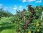 Problemy w uprawie – plamistość roślin pestkowych