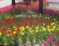 Konin. Tulipany wzdłuż ulicy Dworcowej są w pełnym rozkwicie