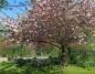 Sakura nie zawiodła. Pięknie kwitnąca wiśnia na terenie muzeum