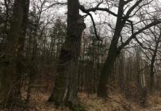 Kłodawa. Kradł drewno z lasu. 61-latek zatrzymany przez policję