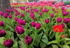 Konin. Dywan z tulipanów zakwitł prawdopodobnie po raz ostatni