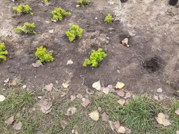 Zniszczona łąka kwietna. Powstała z Konińskiego Budżetu Obywatelskiego