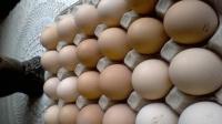 Sprzedam świeże jaja