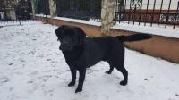 Labrador czarny 17 miesiecy