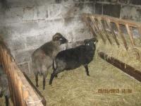 Sprzedam owce,jagnięta,wełnę