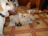 Labradory biszkoptowe