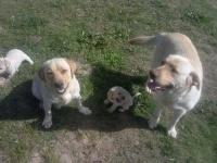 Labradory szczeniaki