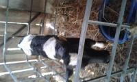 Sprzedam 2-tygodniową  jalowke HO z własnej hodowli