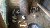 sprzedam kurczaki