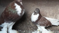 Gołębie - garłacze