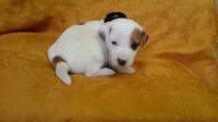 Jack Russell Terrier gładkowłosy piesek ,pies ,szczeniak.