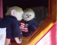 Małpy Baby Kapucynów do adopcji.
