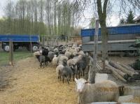 Sprzedam jarki,tryczki,całe stado owiec