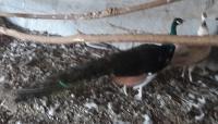 Paw czarnoskrzydły